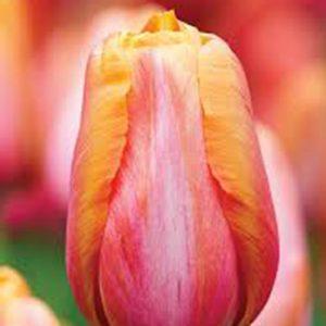 Batavia Tulip