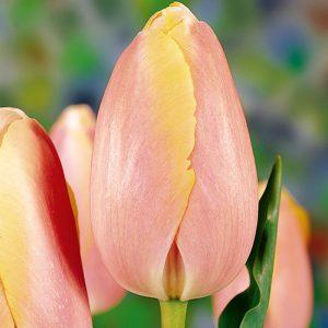 Belle du Monde Tulip