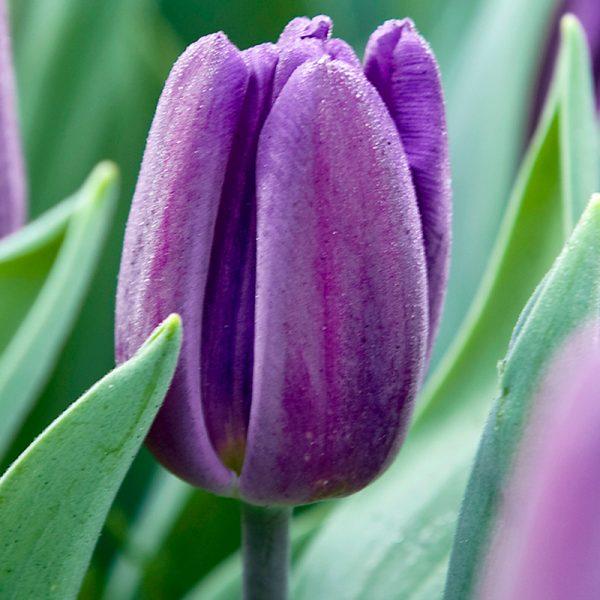 Caravelle Tulip