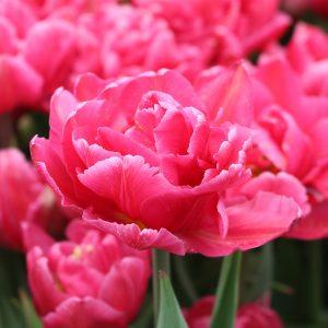 Chato Tulip