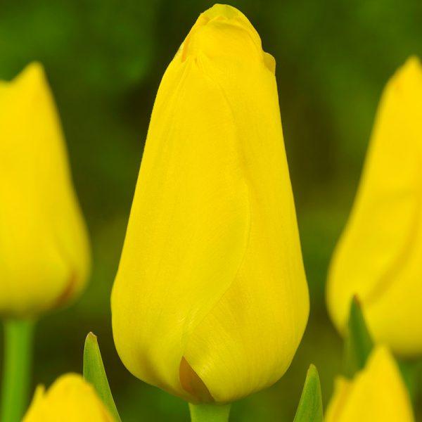 Conquerer Tulip