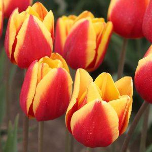 Denmark Tulip