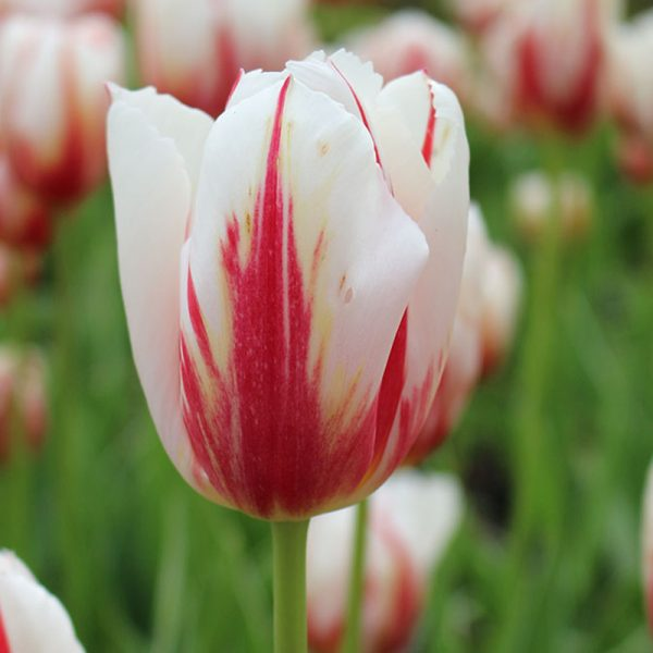 Happy Generation Tulip