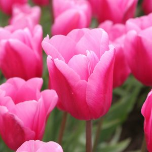 Jumbo Pink Tulip