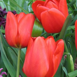 Lalibela Tulip