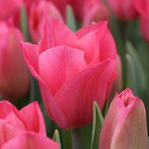 Miss Elegance Tulip