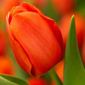 Orange Juice Tulip