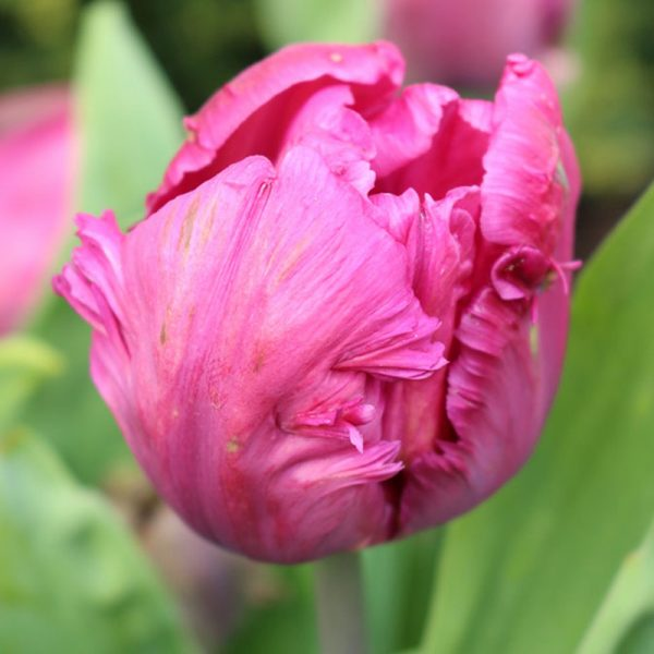 Parrot Prince Tulip