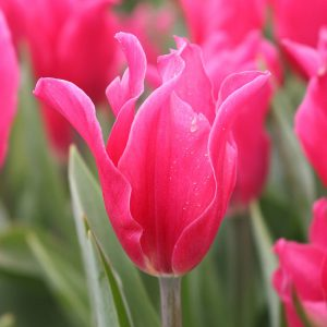 Pretty Love Tulip