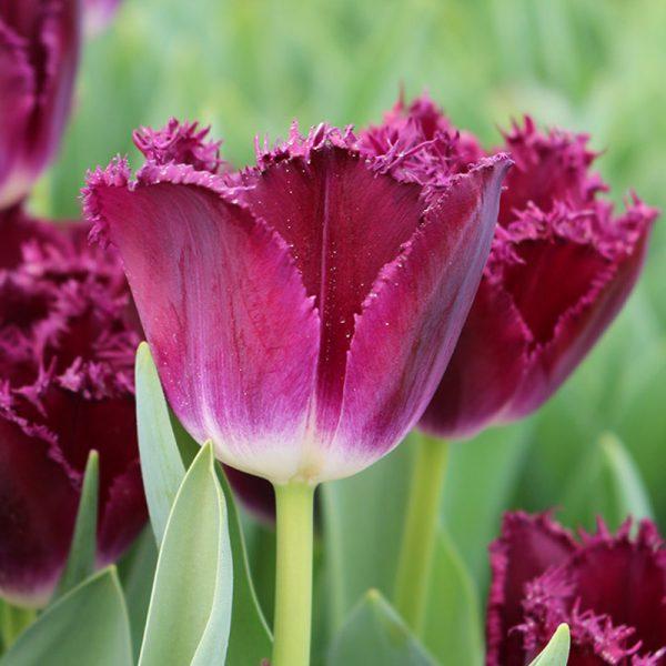 Purple Crystal Tulip