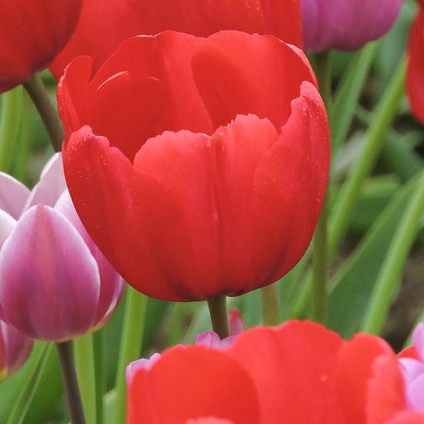 Red Bull Tulip