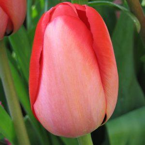 Red Impression Tulip