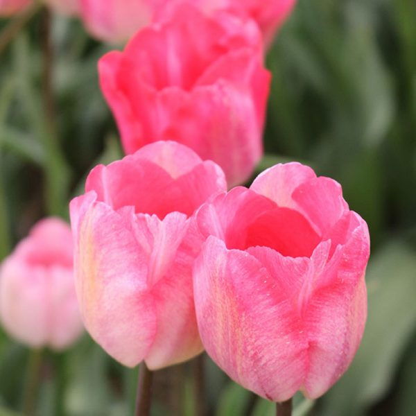 Rhapsody Tulip