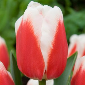Roman Empire Tulip