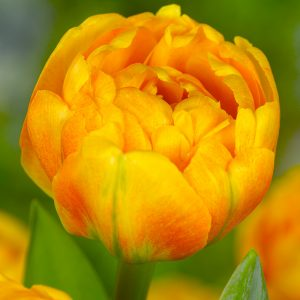 Sun Lover Tulip
