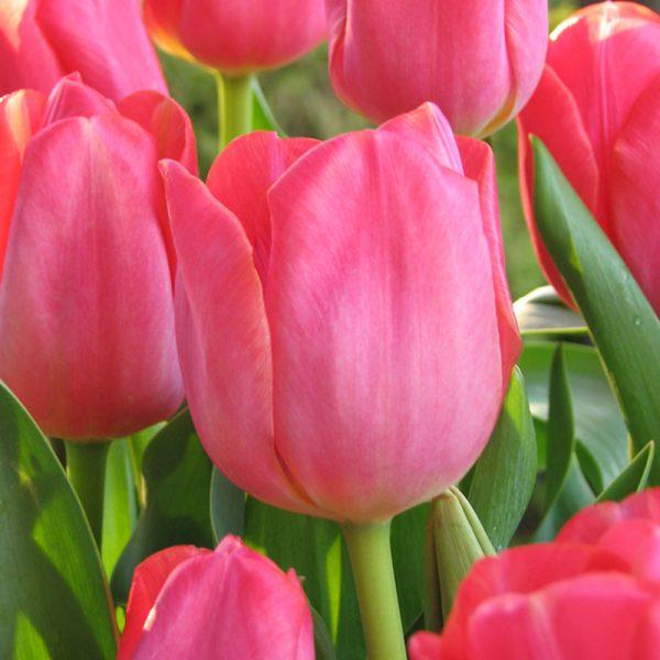 Swarovski Tulip