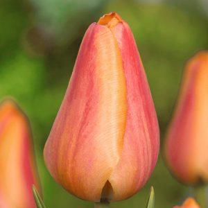 Dordogne Tulip