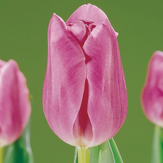 Mistress Tulip
