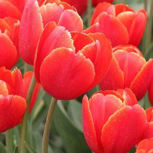 Verandi Tulip