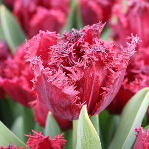 Versace Tulip
