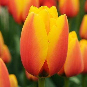 World Peace Tulip