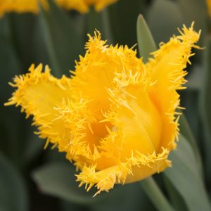 Yellow Valery Tulip